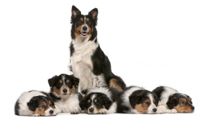 border-collie5